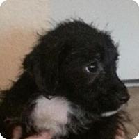Adopt A Pet :: Felicia - Phoenix, AZ