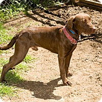 Adopt A Pet :: Hershey Bar - Lewisville, IN