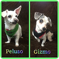 Adopt A Pet :: Gizmo & Peluso - Hollywood, FL