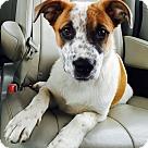 Adopt A Pet :: Chubbs