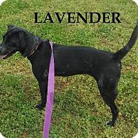 Adopt A Pet :: Lavender - Batesville, AR