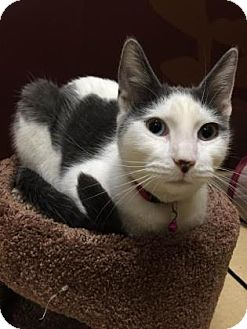 Domestic Shorthair Cat for adoption in Philadelphia, Pennsylvania - Blankito (foster care)