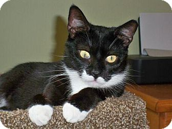 Domestic Shorthair Cat for adoption in Brooklyn, New York - Tippytail