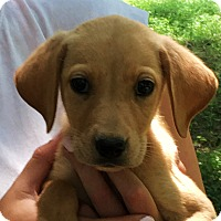 Adopt A Pet :: REESE - petite labby - Stamford, CT
