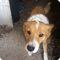 Adopt A Pet :: Susie Mae - Seattle, WA