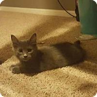 Adopt A Pet :: Baby Grey - Sugar Land, TX