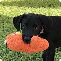 Adopt A Pet :: Giorgio - Bradenton, FL