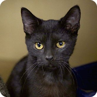 Domestic Shorthair Kitten for adoption in Kettering, Ohio - Peanut Butter