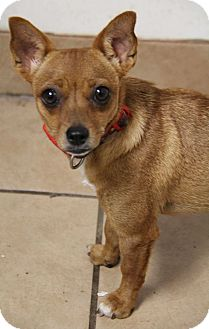Chihuahua/Terrier (Unknown Type, Small) Mix Dog for adoption in Yuba City, California - Kangaroo