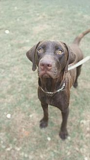 Labrador Retriever/Retriever (Unknown Type) Mix Dog for adoption in Enfield, Connecticut - Mariah