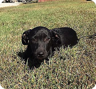 Labrador Retriever/Border Collie Mix Puppy for adoption in Harrisonburg, Virginia - Bixby