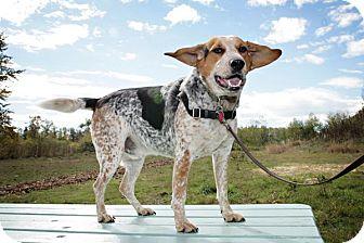 Bluetick Coonhound Mix Dog for adoption in Bellingham, Washington - Parker