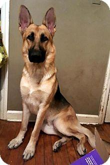 German Shepherd Dog Dog for adoption in Westwood, New Jersey - Machete