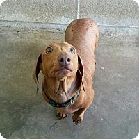 Adopt A Pet :: Peanut - Lubbock, TX