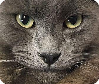 Russian Blue Kitten for adoption in Oakdale, California - Gandalf the Grey