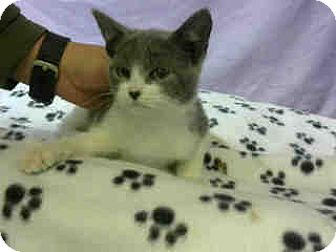 Domestic Shorthair Kitten for adoption in San Bernardino, California - URGENT on 1/12 at DEVORE
