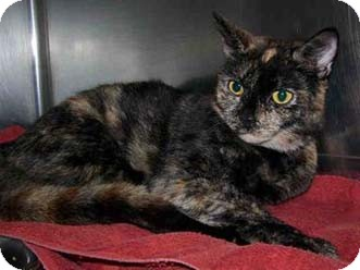 Calico Cat for adoption in Merrifield, Virginia - Hampton