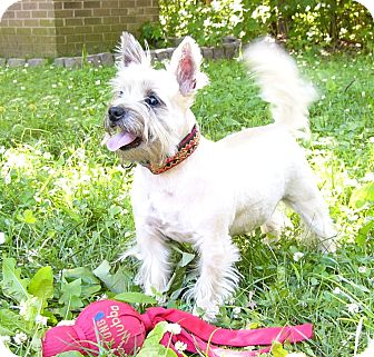 Westie, West Highland White Terrier/Cairn Terrier Mix Dog for adoption in Mocksville, North Carolina - Jake