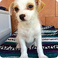Adopt A Pet :: Patch - North Hollywood, CA