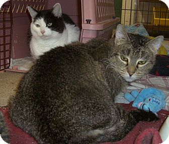 Domestic Shorthair Cat for adoption in Alden, Iowa - Random & Soma