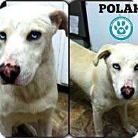 Adopt A Pet :: Polar - Kimberton, PA