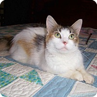 Adopt A Pet :: Sassy-Declawed Calico Maine - Taylor Mill, KY