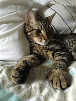 Domestic Shorthair Cat for adoption in Harrison, New York - Edgar