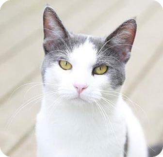 Domestic Shorthair Cat for adoption in Kettering, Ohio - Patchouli