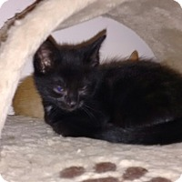 Adopt A Pet :: Maleficent - Cambridge, ON