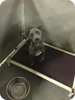 American Staffordshire Terrier/Pit Bull Terrier Mix Dog for adoption in Whiteville, North Carolina - Valentina