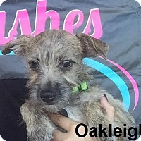 Cairn Terrier Mix Puppy for adoption in Lake Forest, California - Oakleigh