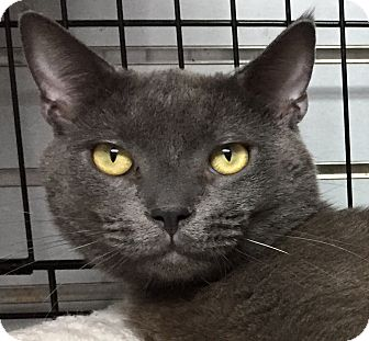 Russian Blue Cat for adoption in Elmwood Park, New Jersey - Bobby