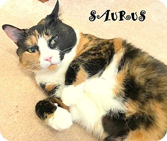 """Domestic Shorthair Cat for adoption in Mooresville, North Carolina - SAURUS """" I LOVE EVERYBODY, KIDS ARE AWESOME BUDDIES"""""""