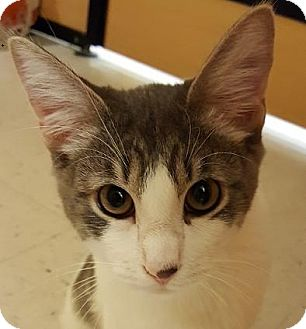 Domestic Shorthair Kitten for adoption in Mesa, Arizona - Larry