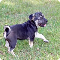 Adopt A Pet :: PUPPY JULIA - Franklin, TN