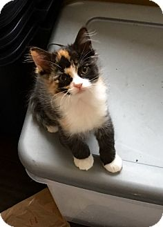 Maine Coon Kitten for adoption in Pasadena, California - Callie