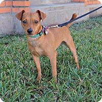 Dachshund/Chihuahua Mix Dog for adoption in Lincoln, Nebraska - Gideon