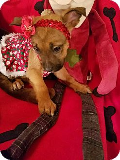 German Shepherd Dog/Retriever (Unknown Type) Mix Puppy for adoption in Detroit, Michigan - Snowflake