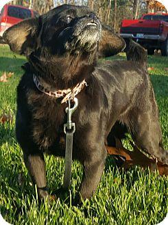 Pug/Chihuahua Mix Dog for adoption in Oakland, Michigan - Dutchess