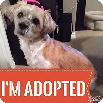 Shih Tzu/Terrier (Unknown Type, Small) Mix Dog for adoption in Regina, Saskatchewan - Porkchop