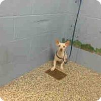 Adopt A Pet :: URGENT ON 1/24  San Bernardino - San Bernardino, CA