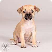 Adopt A Pet :: Yentl - Northbrook, IL