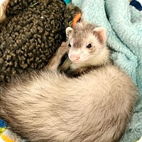 Adopt A Pet :: Noodles - Vernon, BC