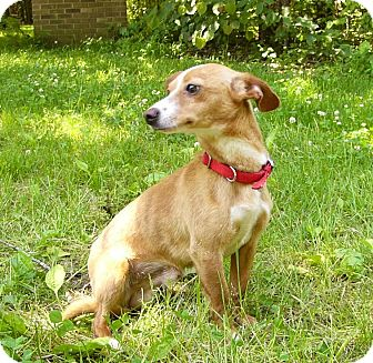 greyhound terrier mix italian greyhound rat terrier mix dog for adoption in 5235