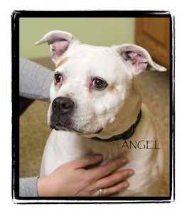 American Pit Bull Terrier Mix Dog for adoption in Warren, Pennsylvania - Angel