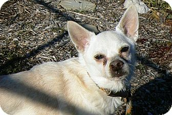 Chihuahua Dog for adoption in Ridgely, Maryland - Roscoe