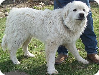 Great Pyrenees Dog for adoption in Denver, Indiana - Checkers