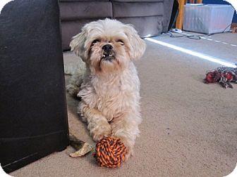 Shih Tzu Mix Dog for adoption in Prole, Iowa - Tony