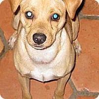 Adopt A Pet :: PINOCCHIO aka NOCI - Phoenix, AZ