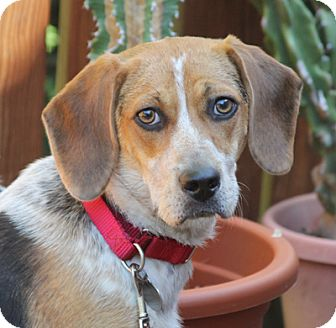 Larchmont, NY - Beagle/Foxhound Mix. Meet Kensy a Dog for ...